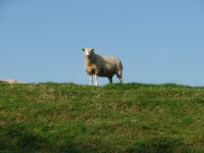 Schaf auf dem Ostedeich beim Geversdorf
